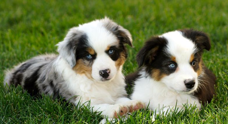 Western Fancy Pups Delta Co